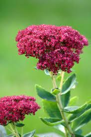 Flowers Information - sedum information from flowers org uk