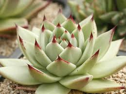 13 succulents that are native echeveria agavoides u0027maria u0027 wax agave is a succulent plant that