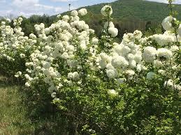 native tennessee plants tennessee bush farm u2013 mcminnville tn