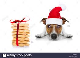 christmas treats jack russell dog waiting and begging for christmas treats or