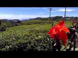 Teh Kayu Aro perkebunan teh kayu aro gunung kerinci 3805 mdpl