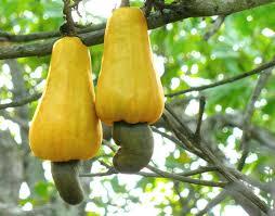 cashew wikipedia