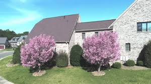 kwanzan flowering cherry trees for sale fast growing trees