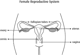 Anatomy And Physiology Place Gestational Trophoblastic Disease Overview Canadian Cancer Society