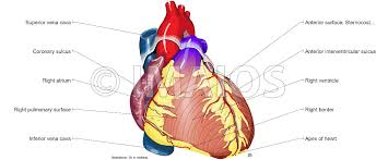 Human Anatomy Planes Of The Body Heart Illustrated Anatomy