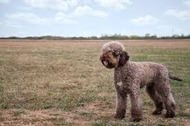dogs with curly hair and floppy ears 8 curly coated dog breeds pawculture