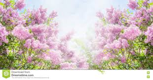 lilac bush over sky background lilac flowers in garden or park