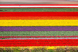 Tulip Festival Map Guide To Seeing The Tulips Near Amsterdam
