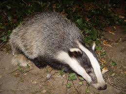 badger wikipedia