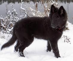 belgian sheepdog puppy groenendael u2013 black belgian shepherd groenendael pinterest