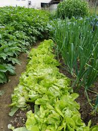garden intercropping tips on interplanting and intensive