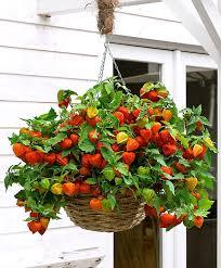 buy hardy perennials now chinese lantern u0027halloween queen