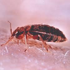 Bed Bugs In Ohio Common Pests U2013 A Best Pest Termite U0026 Pest Control In Northeast Ohio