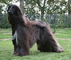 afghan hound look alike breeds afghan hound dogs and puppies dog breeds journal