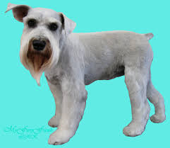 schnauzers hair cuts pet grooming the good the bad the furry different looks of a