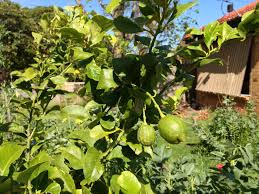 When Does A Lemon Tree Produce Fruit - lemon tree first fruit ground to ground