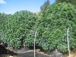 working at a cali weed farm