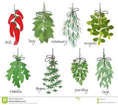 les herbes de cuisine groupes d herbes aromatiques médicinales illustration de vecteur