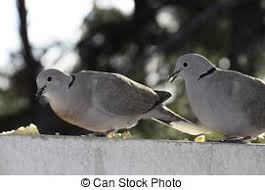 pictures of a turtle dove the best dove in 2017