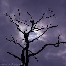 partial eclipse dead oak tree photo wp00526
