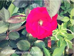 3 tips for big red roses in autumn rose flowers it u0027s