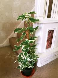1 european english ivy hedera hhelix evergreen climber house