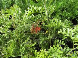native australian ground cover plants recommended plants archives australian native nursery