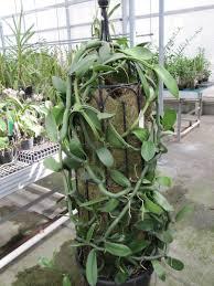vanilla orchid orchids vanilla orchid vanilla planifolia 1 by rbtkew