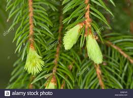 norway spruce christmas tree stock photos u0026 norway spruce