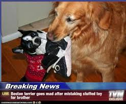 Boston Terrier Meme - some hilarious boston terrier breaking news ibostonterrier com