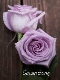 Lavender Roses 15 Best Fragrant Lavender Roses Images On Pinterest