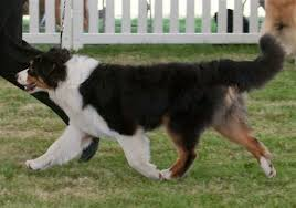 australian shepherd joint problems normal aussie coat coloring australian shepherd health