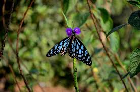 purple flower butterfly blue tiger 2 public domain pictures