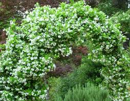 Which Jasmine Plant Is Most Fragrant - confederate jasmine for a fragrant layer in the garden deb u0027s