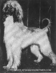 afghan hound times afghan hound times rudiwin afghan hound kennel usa by steve