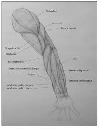 Anatomy Of The Right Arm Paint Draw Paint Learn To Draw Drawing The Arm How To Draw The