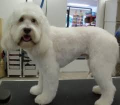 shorkie haircut photos mod dog boca grooming pictures