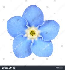 light blue flowers royalty free forget me not light blue flower 102784169 stock