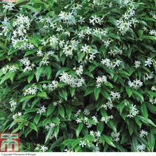 evergreen jasmine at thompson morgan