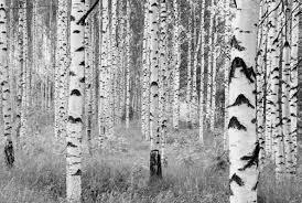 komar birch forest 145 x 98 komar birch forest 145 x 98