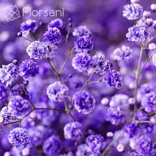 baby s breath wholesale purple baby s breath wholesale bulk prices farm direct