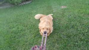 How To Play War by Golden Retriever Gets Dragged By Tug O War Jukin Media