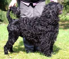 does an afghan hound shed portuguese water dog wikipedia