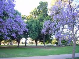 san diego jacaranda trees a gallery on flickr