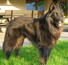 belgian sheepdog varieties dog breeds belgian tervuren dog temperament and personality