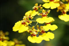 oncidium orchid oncidium orchids everything orchids