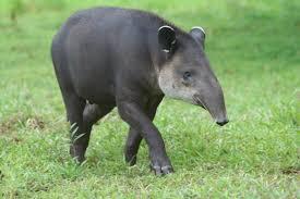 mammals costa rica monkeys sloths jaguar tapir u0026