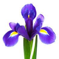 iris flowers meaning of irises what do iris flowers