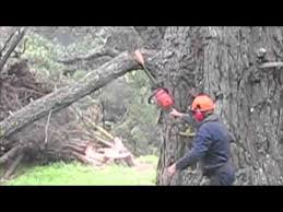 felling 6 foot diameter tree and 2 smaller trees