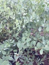 silver drop eucalyptus silver drop eucalyptus gunnii shrub like eucalyptus